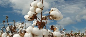 Cotton Plant Field_tcm35-18182
